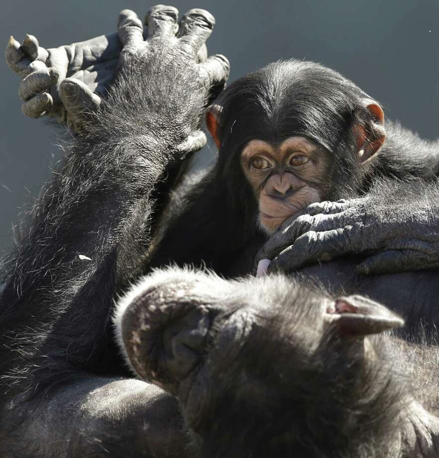 A mother chimp relaxes with her baby at Chimp Haven in Keithville, La., Tuesday, Feb. 19, 2013. One hundred and eleven chimpanzees will be coming from a south Louisiana laboratory to Chimp Haven, the national sanctuary for chimpanzees retired from federal research. Photo: Gerald Herbert, AP / AP