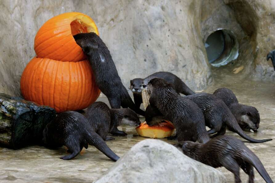 A group of otters partake in the Santa Barbara Zoo's annual Thanksgiving Day Pumpkin Squash.