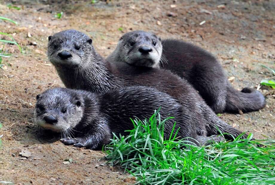 In this May 8, 2012 photo provided the Wildlife Conservation Society, three North American river otter pups huddle together at the Prospect Park Zoo in New York. The trio were born in February at the zoo in February and according to the Wildlife Conservation Society, who manages the zoo, are the first North American river otters born in a New York City zoo or aquarium since 1956. Photo: Julie Larsen Maher, Associated Press / Wildlife Conservation Society