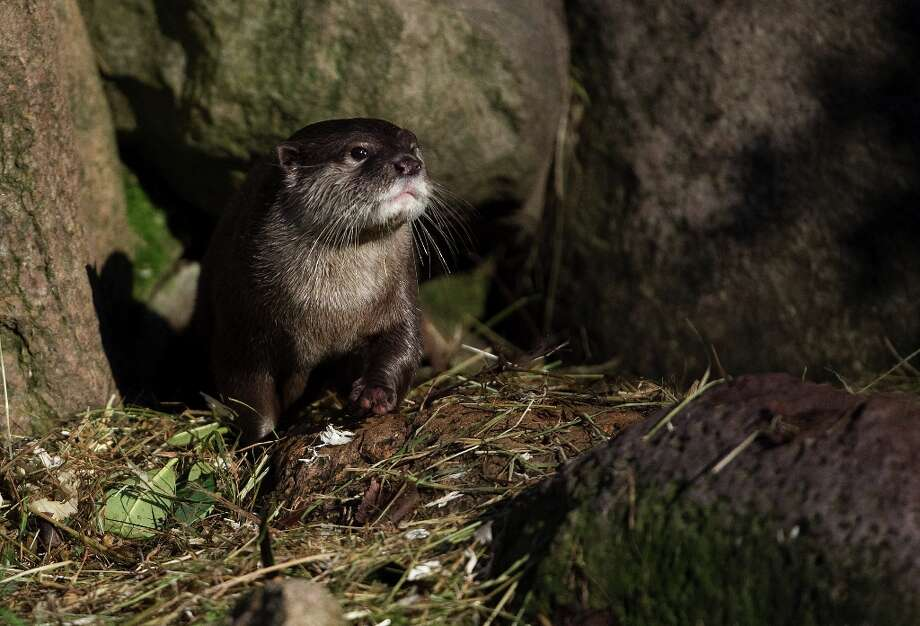 A oriental small-clawed otter (Aonyx cinerea) is pictured at the wild park Schwarze Berge in Hamburg, northern Germany on February 2, 2013. Photo: AXEL HEIMKEN, AFP/Getty Images / DPA