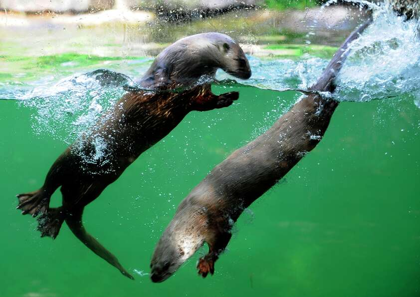 Canadian sea otters swim on June 5, 2012 in the zoo of Amneville in eastern France.