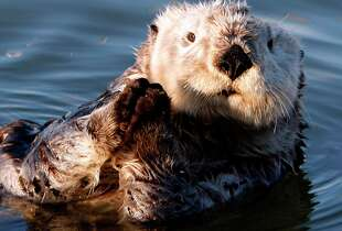 In this January 3, 2009 file photograph, a California Sea Otter basks in the sun in the Moss Landing Harbor.