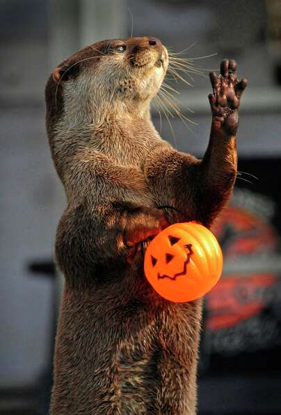 An Asian small-clawed river otter carries a jack o'lantern that was filled with food in San Diego, C