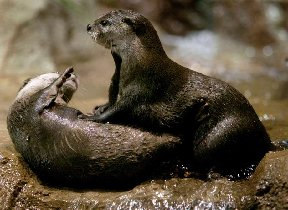 A pair of Asian short-clawed otters playfully wrestle with each other at the Monterey Bay Aquarium in Monterey, Calif. Photo: PAUL CHINN, SFC / The Chronicle