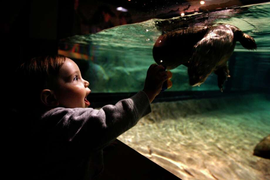 Corbin Whitney of Prundale is mesmerized by an African spotted-necked otter swimming at the Monterey Bay Aquarium in Monterey, Calif. Photo: PAUL CHINN, SFC / The Chronicle