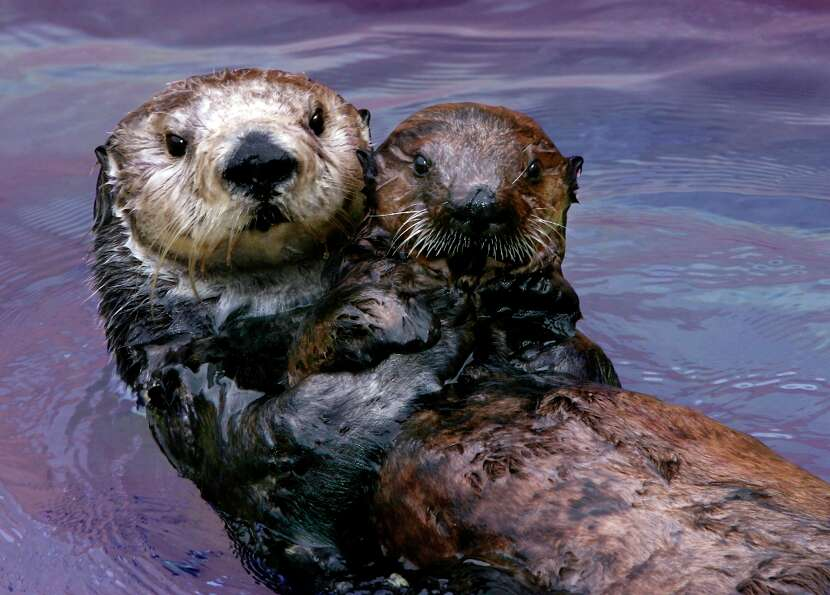 Otters at the Monterey Bay Aquarium Foundation.