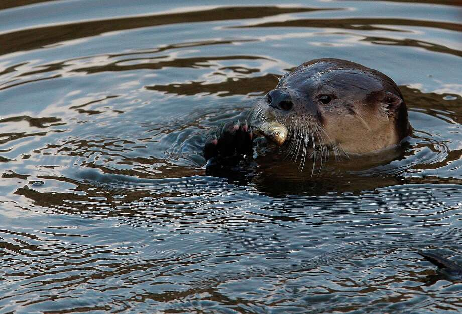 A River Otter named Sutro Sam by local biologists feeds on a fish he caught at the Sutro Baths on December 30, 2012 in San Francisco, Calif. Photo: Sean Havey, The Chronicle / ONLINE_YES