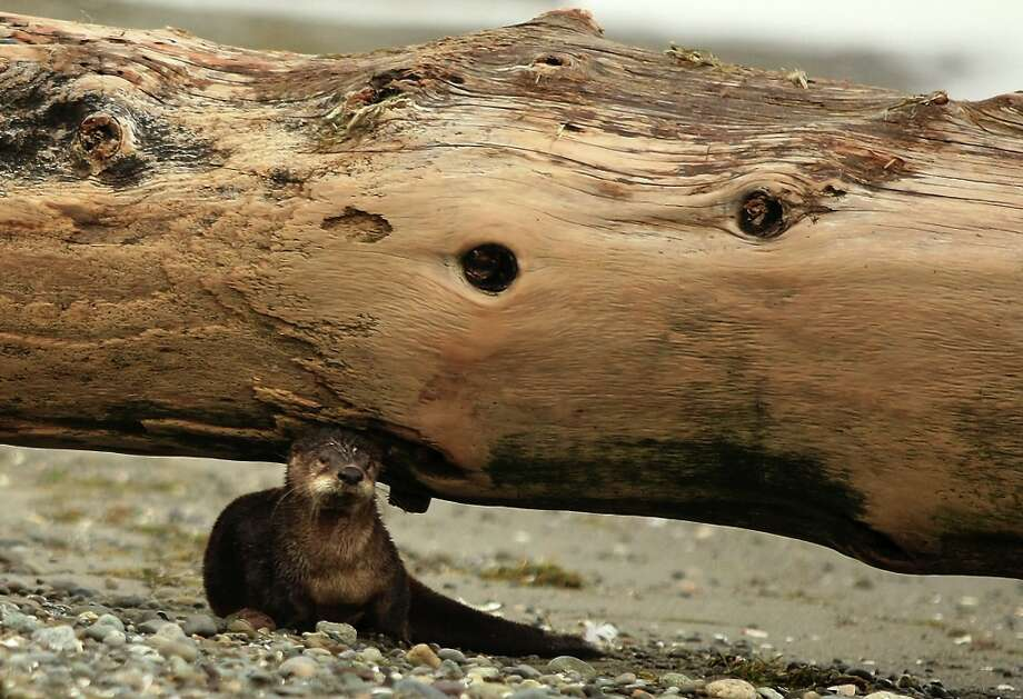 In this Tuesday, Jan. 22, 2013 photo, an otter peeks out from underneath a driftwood log at Faye Bainbridge Park in Bainbridge Island, Wash. Photo: MEEGAN M. REID, Associated Press / KITSAP SUN