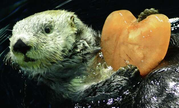 Alaskan sea otter 'Yutan' swims as he holds a heart-shaped pice of ice given to him by his keeper at the aquarium at the Hakkeijima Sea Paradise amusement park in Yokohama, suburban Tokyo, on February 11, 2013. Photo: TORU YAMANAKA, AFP/Getty Images / AFP