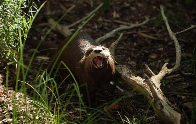 A North American river otter forages for food in the new otter enclosure during a sneak peak of the new American Trail at the Smithsonian National Zoo August 29, 2012 in Washington, D.C.  The zoo has two North American river otters, 13-year-old brothers Konrad and Niko, that where were born at the Lowry Park Zoo in January 1999. Photo: Allison Shelley, Getty Images / 2012 Getty Images