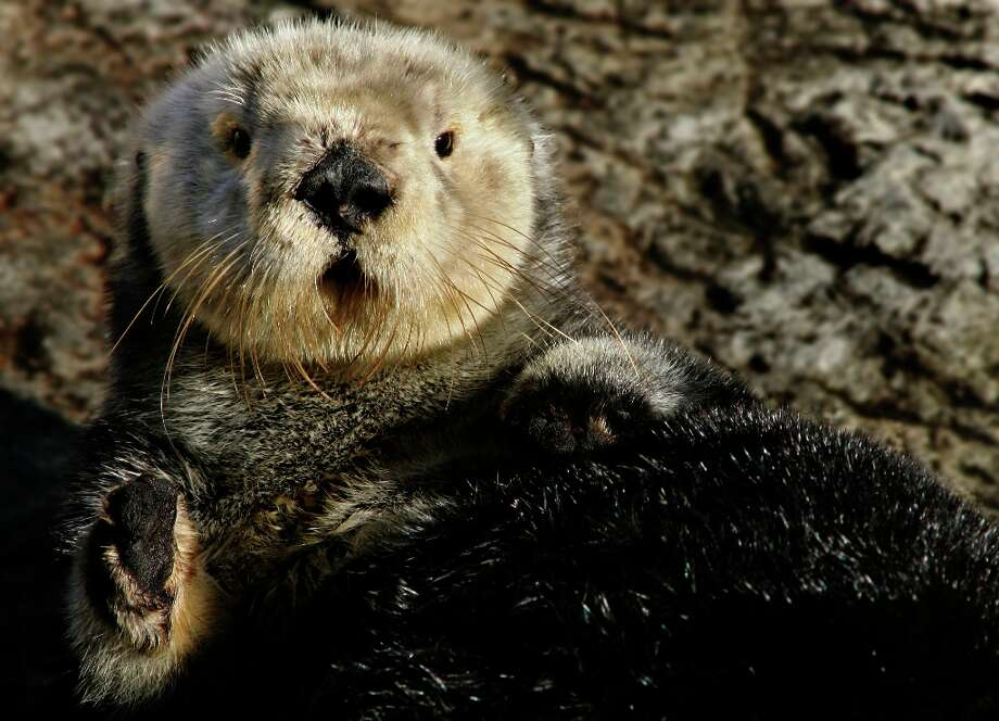 This undated image provided by the Monterey Bay Aquarium Foundation shows Toola. Toola lived to be 15 or 16. Photo: Associated Press / Monterey Bay Aquarium