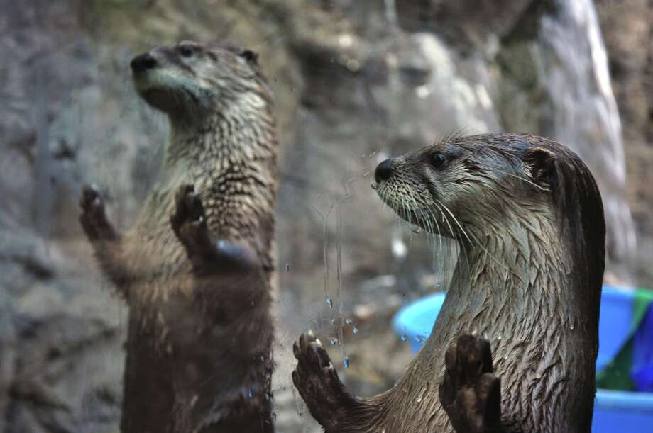 North American River Otters at CuriOdyssey. Photo: Graham Paterson