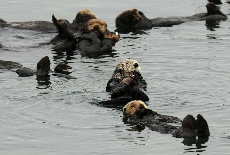 Sea otters gather in a yacht harbor on Tuesday, Aug. 21, 2012, in Moss Landing, Calif. Photo: Noah Berger, Special To The Chronicle / ONLINE_YES
