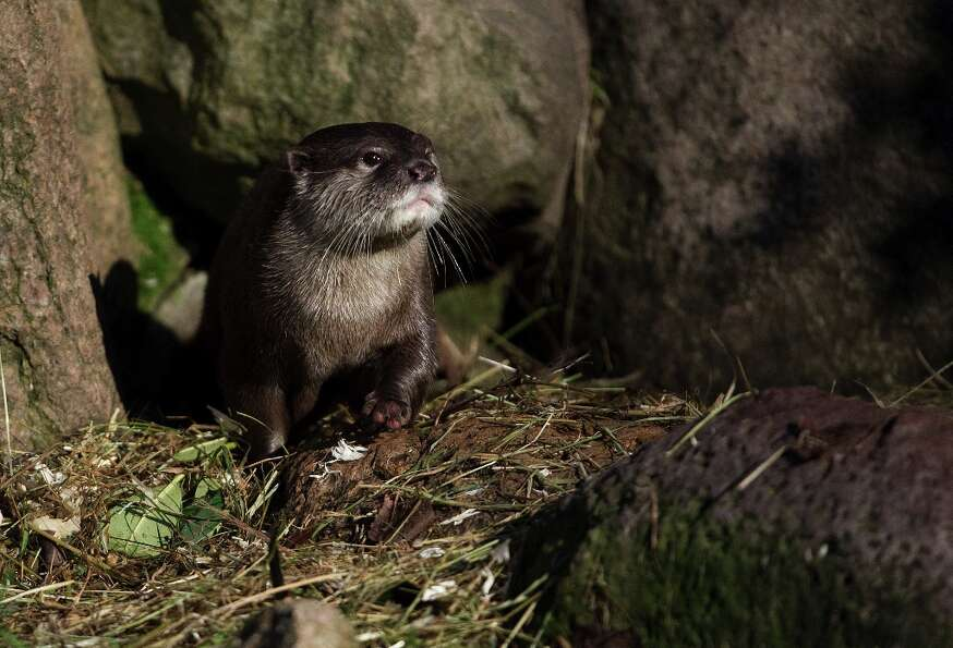 A oriental small-clawed otter (Aonyx cinerea) is pictured at the wild park Schwarze Berge in Hamburg
