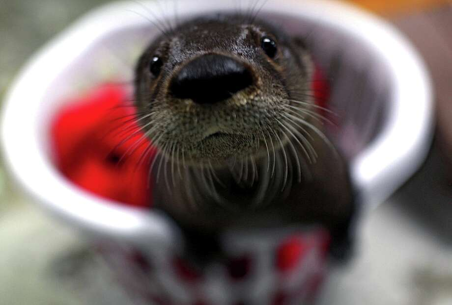 A baby otter that has been added to the Virginia Aquarium is shown in Virginia Beach, Va. Photo: Ross Taylor, Associated Press / The Virginian-PIlot
