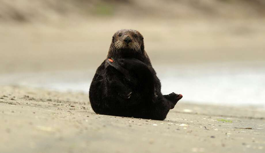 Showing an orange monitoring tag, a sea otter relaxes on a beach in Moss Landing, Calif., on Tuesday, Aug. 21, 2012. Photo: Noah Berger, Special To The Chronicle / ONLINE_YES