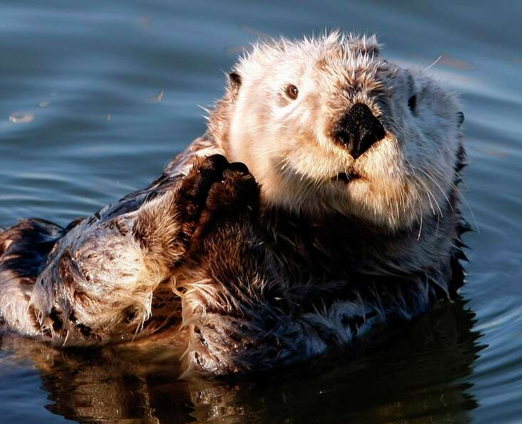 In this January 3, 2009 file photograph, a California Sea Otter basks in the sun in the Moss Landing