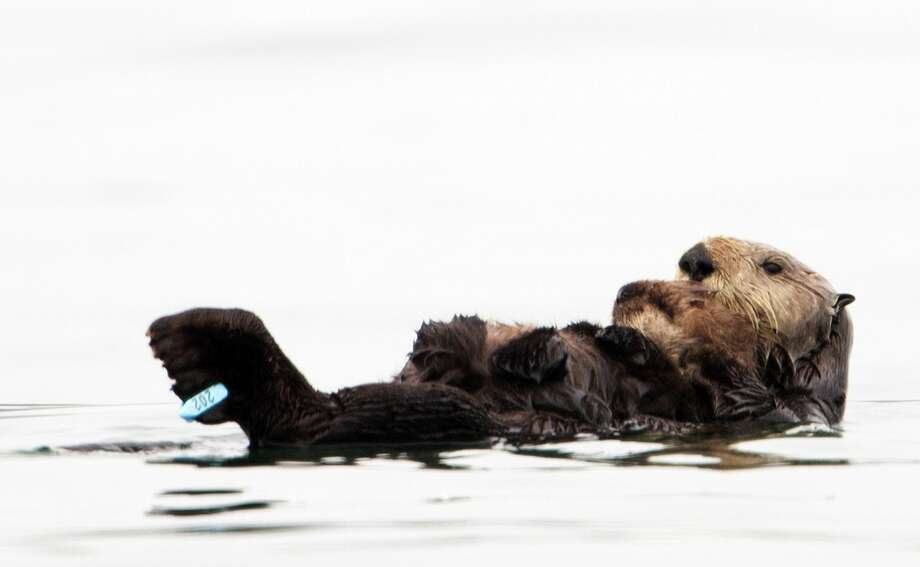 In this photo taken by the U.S. Geological Survey and provided by the California Department of Fish and Game, a sea otter holds her pup at Seacliff State Beach near Aptos, Calif., on, Sept. 10, 2012. The sea otter, known as Olive, has amazed researchers by becoming the first sea otter not only to survive a dunking in oil but then also go on to deliver a healthy pup. Photo: Joe Tomoleoni, Associated Press / California Fish and Game