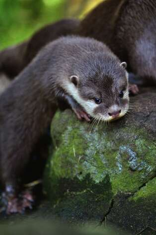 One of Edinburgh Zoo's short clawed otter pups ventures out in their enclosure on October 3, 2012 in Edinburgh, Scotland. Photo: Jeff J Mitchell, Getty Images / 2012 Getty Images