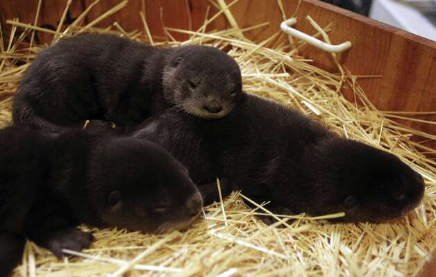 From left, month-old otters Takoda, Etu and Rose, wait to be examined by a veterinarian in their night house at the Oakland Zoo on Thursday, March 22, 2012 in Oakland, Calif. Two males and a female otter were born to Ginger and dad Heath at the zoo on Feb. 18. Photo: Jane Tyska, Associated Press / Bay Area News Group