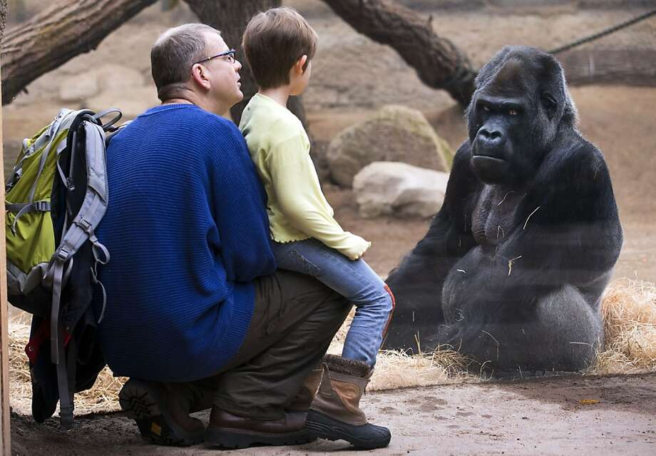 Boy meets gorilla:Five-year-old Martha sizes up someone roughly her own age at the Darwineum Zoo in Rostock, Germany. Photo: Jens Buettner, AFP/Getty Images