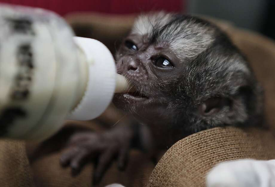 Keep it coming, barkeep: A 15-day-old orphaned night monkey drinks up at an animal shelter west of Bogota. The shelter receives between 3,000 and 3,500 wild animals a year - some seized from poachers and others found hurt. Most are returned to their habitat. Photo: Fernando Vergara, Associated Press