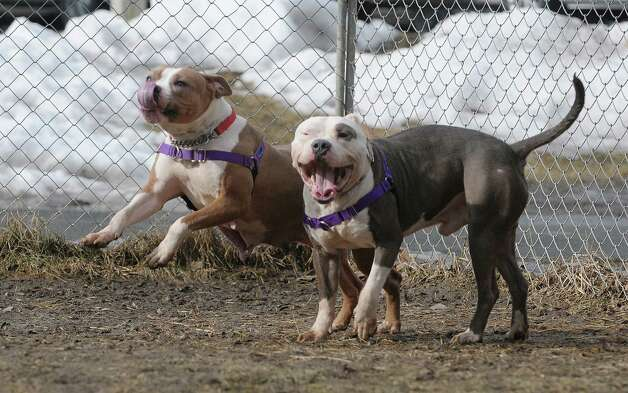 Pit bulls Neve, left, and Gavin stand outside the Mohawk Hudson Humane Society on Wednesday, Feb. 20, 2013, in Menands, NY.  Neve and Gavin were part of a group of dogs that were found sick and shivering in the back of a U-Haul truck in Colonie.  (Paul Buckowski / Times Union) Photo: Paul Buckowski / 00021244A