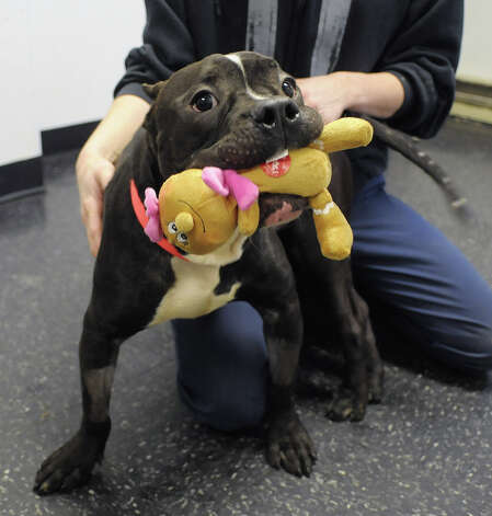 Archer plays with a toy at the Mohawk Hudson Humane Society on Wednesday, Feb. 20, 2013, in Menands, NY.  Archer is part of a group of dogs that were found sick and shivering in the back of a U-Haul truck in Colonie.  (Paul Buckowski / Times Union) Photo: Paul Buckowski / 00021244A