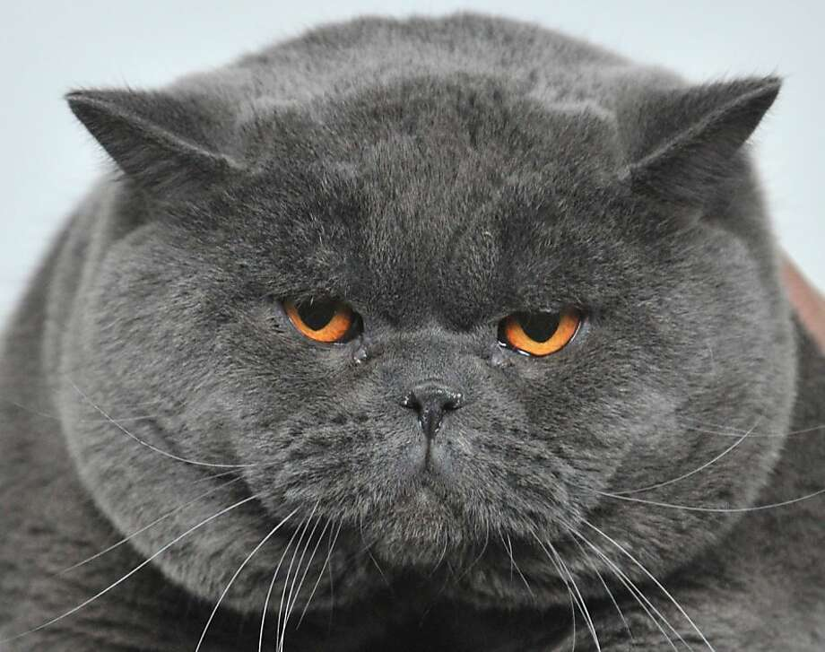 DQ'd for giving the judge a hernia: He didn't get the most points at a cat contest in Bishkek, Kyrgyzstan, but he did eat the most food. Photo: Vyacheslav Oseledko, AFP/Getty Images