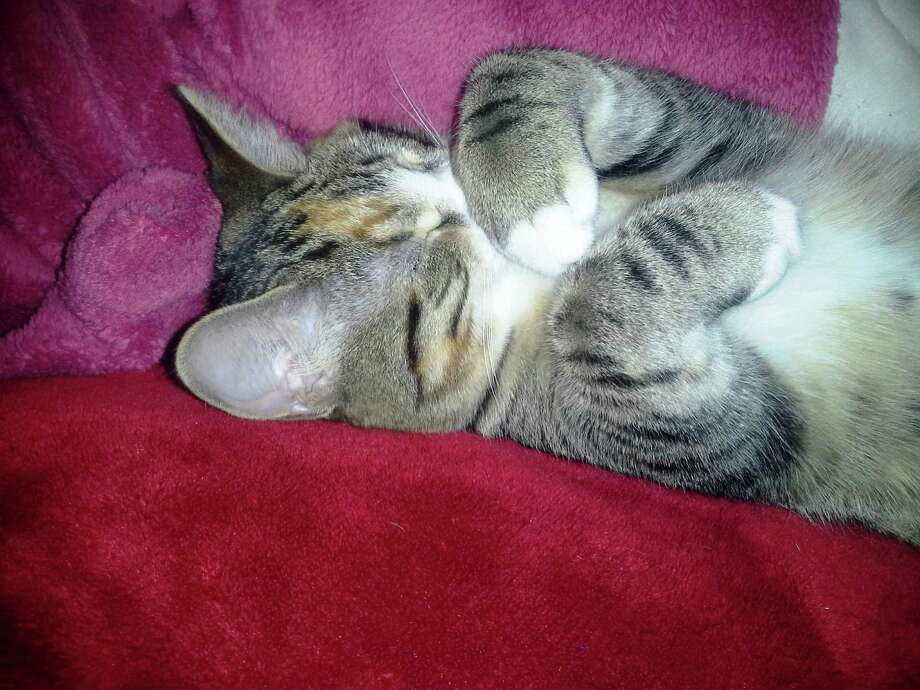 This is our kitten Baby that we adopted from the Hudson Mohawk Humane Society.  She sleeps on her back all the time and if she is not sleeping on her back, she is sleeping on my back!