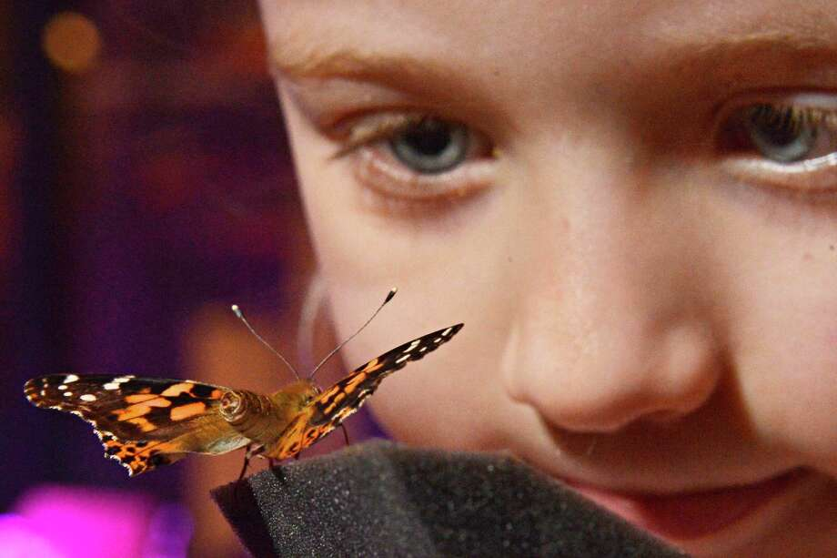 Four-year-old Carter St. Louis of Burnt Hills gets a close up look at a butterfly inside the butterfly house at the Museum of Innovation and Science in Schenectady Wednesday Feb. 20, 2013.  (John Carl D'Annibale / Times Union) Photo: John Carl D'Annibale / 00021149A