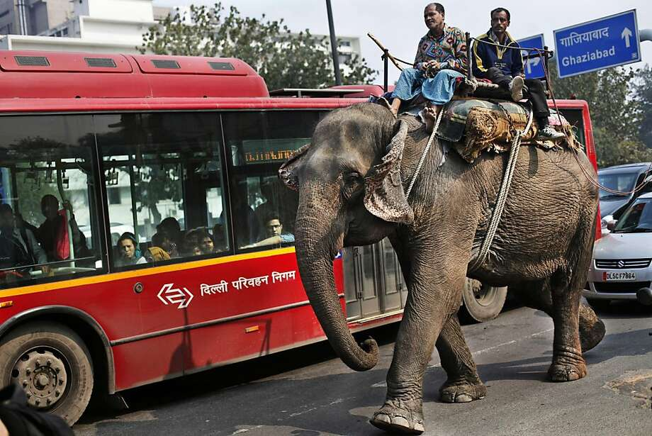 A domesticated elephant walks beside a public bus in New Delhi, India, Wednesday, Feb. 20, 2013. There are an estimated 28,000 wild elephants in India, along with thousands of domesticated ones that do everything from performing in shows to carrying heavy loads in the country's big cities. (AP Photo/Altaf Qadri) Photo: Altaf Qadri, Associated Press