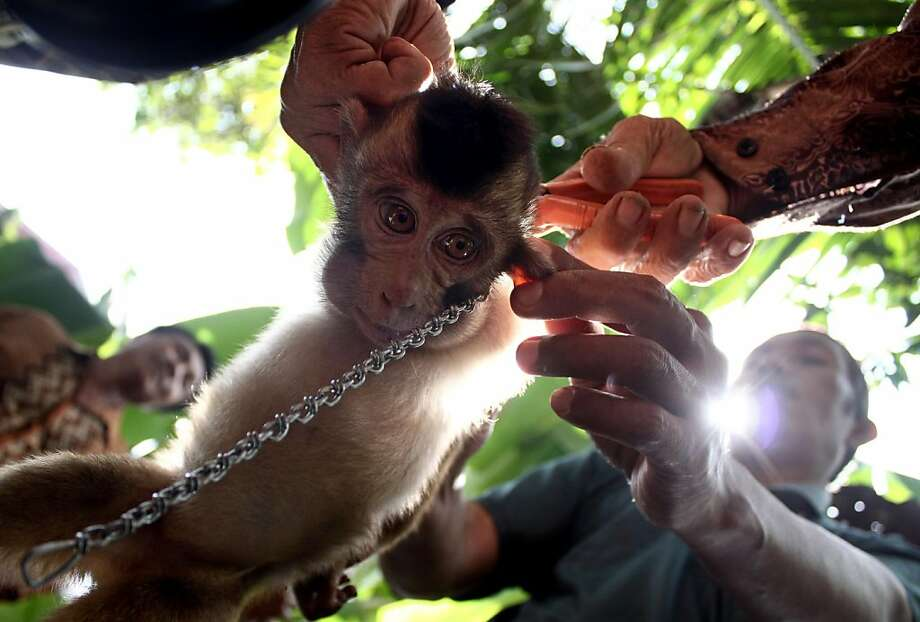 Indonesian men put chain onto a young pig-tailed macaque as it is displayed for sale in Padang Pariaman, West Sumatra, Indonesia, Wednesday, Feb. 20, 2013. Macaques are commonly sold in the region to be trained to pick and harvest coconuts. (AP Photo/Rivo Andries) Photo: Rivo Andries, Associated Press
