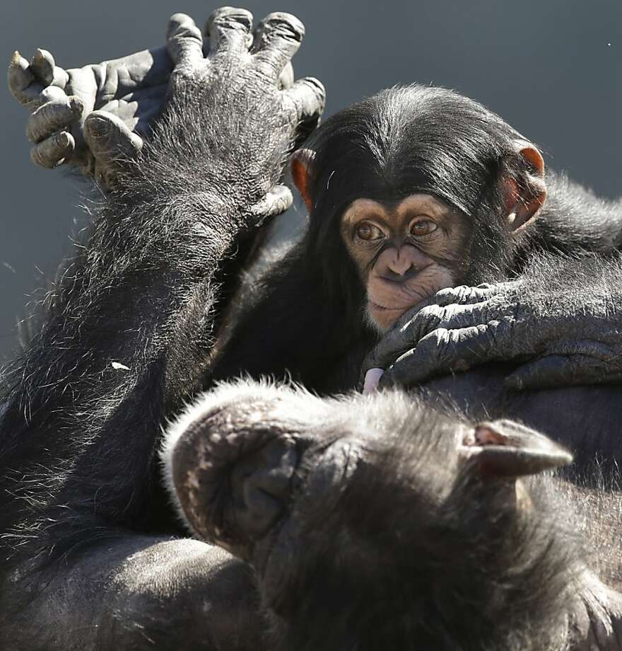 A mother chimp relaxes with her baby at Chimp Haven in Keithville, La., Tuesday, Feb. 19, 2013. One hundred and eleven chimpanzees will be coming from a south Louisiana laboratory to Chimp Haven, the national sanctuary for chimpanzees retired from federal research. (AP Photo/Gerald Herbert) Photo: Gerald Herbert, Associated Press