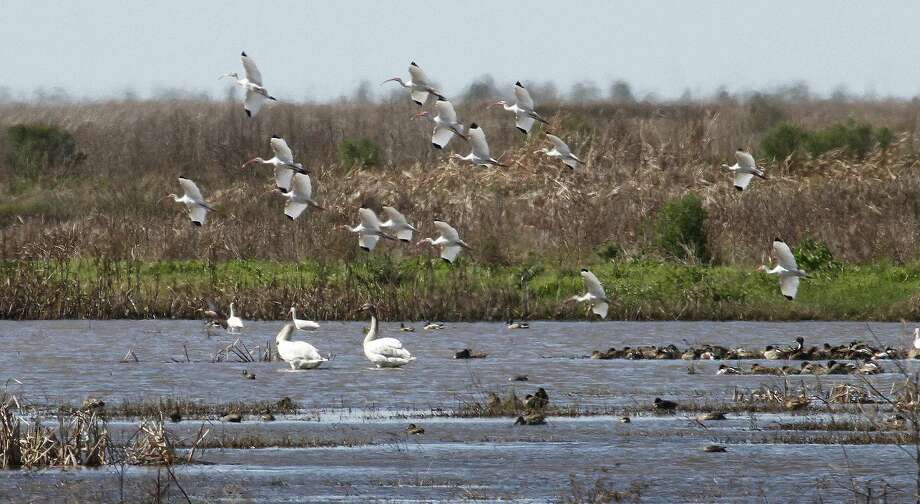 A pair of swans, rarely seen in Texas, shares a wetland on Anahuac National Wildlife Refuge with ducks and ibises. Efforts to reestablish trumpeter swan populations could mean more of the big waterfowl will return to their traditional wintering areas along the Gulf Coast. Photo: Picasa