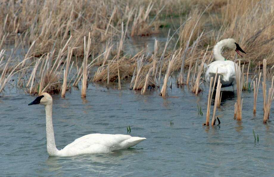 File photo of trumpeter swans. Photo: LISA EDMONDSON, MBR / CASPER STAR TRIBUNE