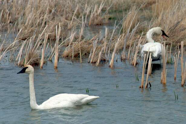 Thousands of trumpeter swans, the largest waterfowl in North America, once wintered on the Texas coast.