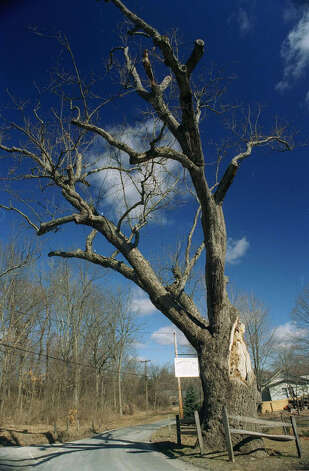 The once-mighty Washington Oak along Gaylord Road in Gaylordsville eventually met its final demise soon after the millenium.. Photo: Norm Cummings, Norm Cummings/Spectrum / The News-Times