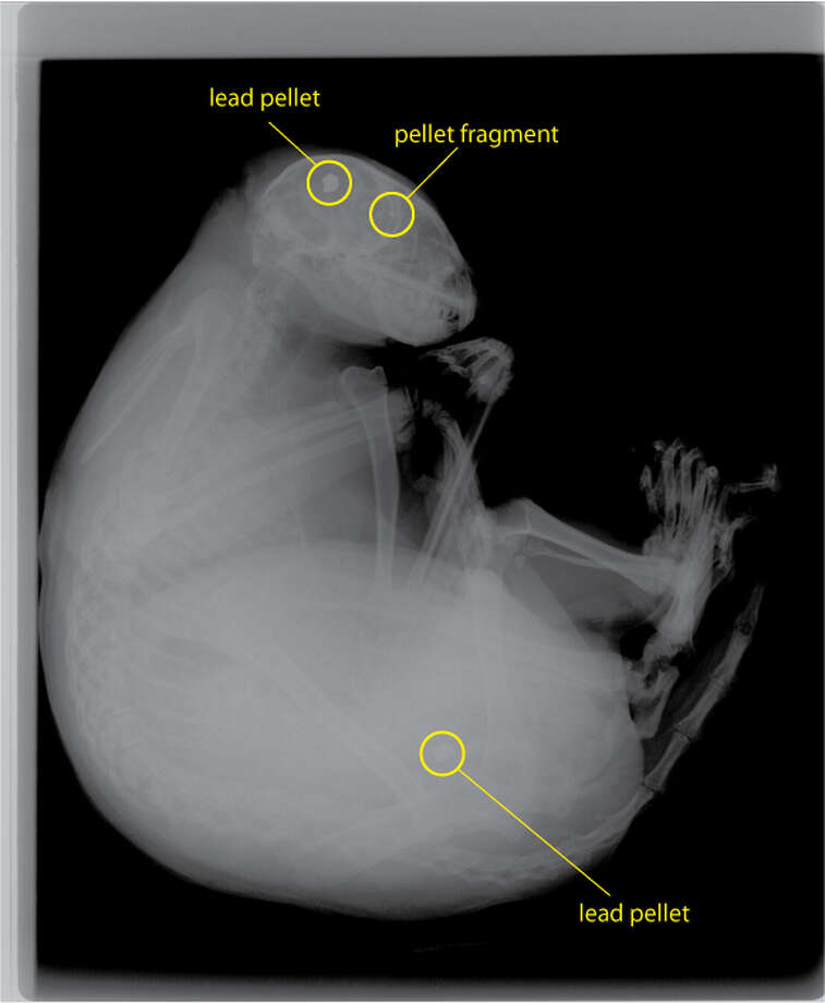 An x-ray of the raccoon found shot in South San Francisco on Sunday.