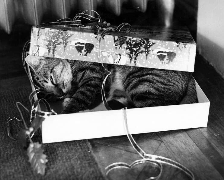 A cat sleeping in an empty gift box, circa 1955.