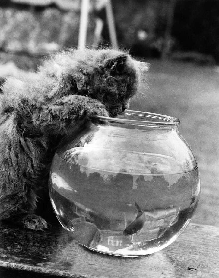 A seven-week-old Persian kitten peers into a goldfish bowl in 1972. Photo: William Vanderson, Getty Images / 2010 Getty Images