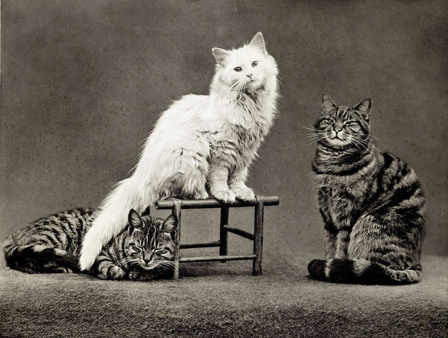 A trio of cats, 1897. Photo: Royal Photographic Society, Getty Images / SSPL/NMeM/Royal Photographic Society