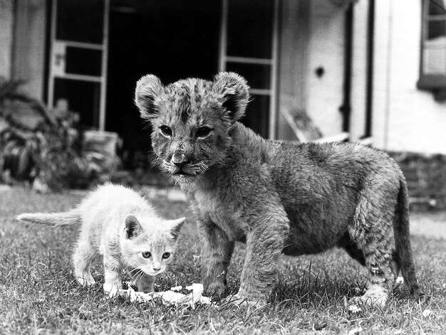 Lion cub and kitten, 1979. Photo: Manchester Daily Express, Getty Images / SSPL/Manchester Daily Express