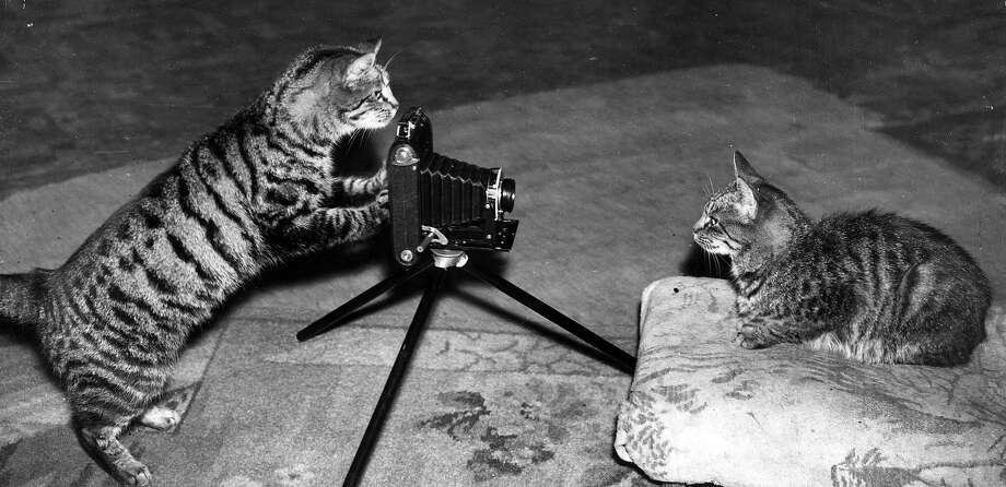 A tabby cat has her photograph taken by a tabby photographer, 1950. Photo: Fox Photos, Getty Images / Hulton Archive