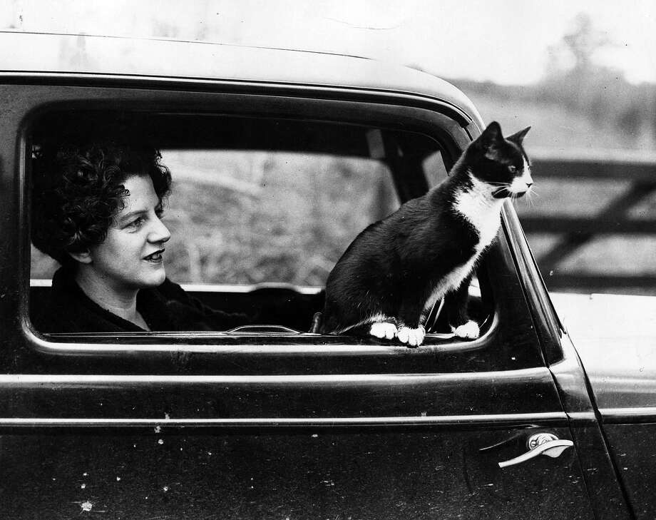 A black and white cat sits in the driver's window enjoying a ride. Passing traffic does not worry him but if he sees a cow he hits the deck, 1936. Photo: Fox Photos, Getty Images / Hulton Archive