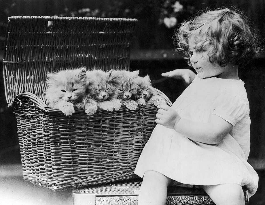 A little girl has opened a basket to find four twelve week old Blue Persian kittens sitting inside, 1930. Photo: Fox Photos, Getty Images / Hulton Archive