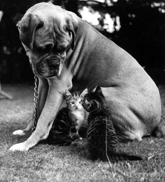 A boxer dog stares benignly at his feline friends, 1959.