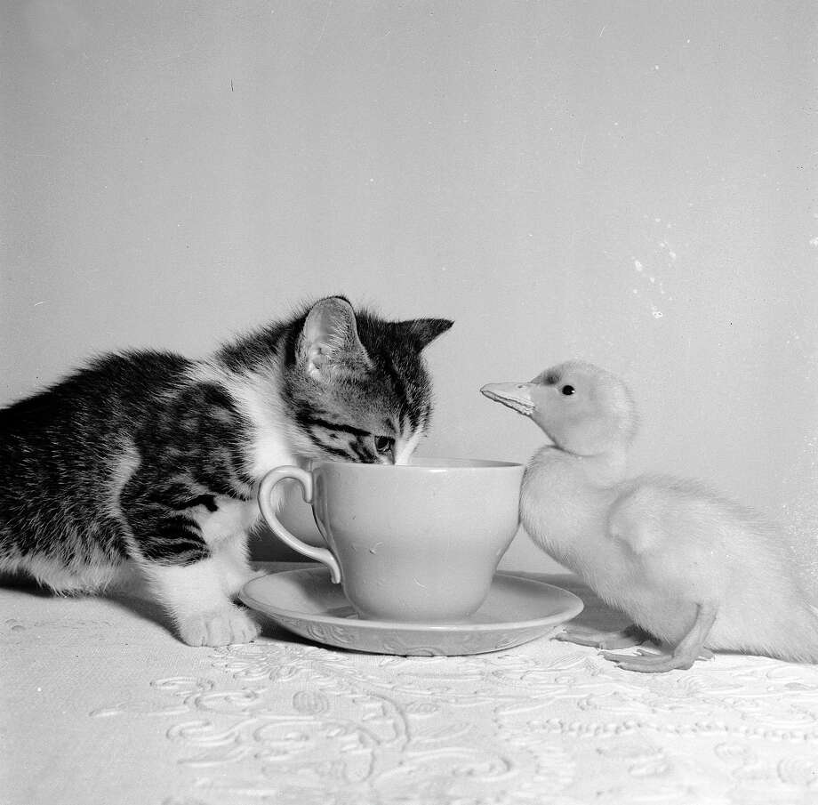 A kitten, a duckling and a cup and saucer, 1955. Photo: Henty, Getty Images / Hulton Archive