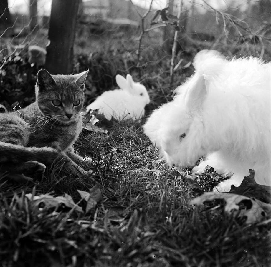 Angora rabbits eat peacefully in their run while their friend a cat rests, 1955. Photo: Evans, Getty Images / Hulton Archive