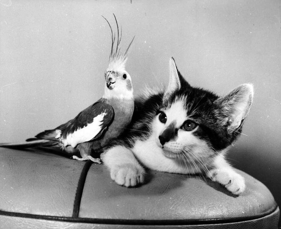 A kitten and a cockatiel appear to be the best of friends but the kitten's attention is not on his feathered friend, 1970. Photo: Henty, Getty Images / Hulton Archive